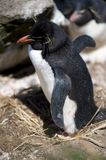 A Southern Rockhopper Penguin Royalty Free Stock Photo