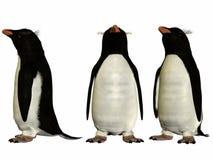 Southern Rockhopper Penguin Stock Image