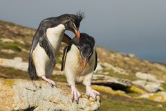 Southern rockhopper penguin encourages another penguin to jump