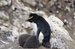 Southern Rockhopper penguin with twin chicks stock image