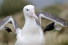 Southern Royal Albatross (Diomedea epomophora ) Royalty Free Stock Photo
