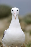 Southern Royal Albatross (Diomedea epomophora ) Stock Images