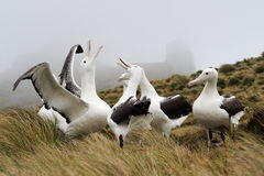 Southern Royal Albatross (Diomedea epomophora ). Group in courtship displaying stock photos
