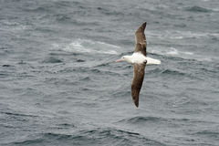 Southern Royal Albatross Stock Images