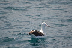 Southern Royal Albatross in Kaikoura, New Zealand Stock Photography