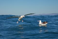 Southern royal albatross, landing on the ocean, Kaikoura, New Zealand stock photo