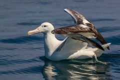 Southern Royal Albatross Royalty Free Stock Photo