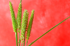 Southern sandbur flower Royalty Free Stock Images