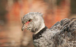 Southern screamer Royalty Free Stock Photography