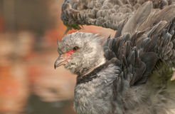 Southern screamer. The Southern Screamer is a good swimmer Stock Photography