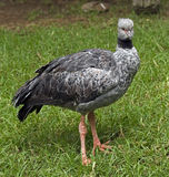 Southern screamer 3 Royalty Free Stock Photos