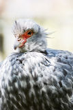 Southern screamer (Chauna torquata) Royalty Free Stock Photography