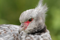 Southern screamer & x28;Chauna torquata& x29; head and beak. Large South American bird, aka crested screamer, in the family Anhimidae, found in tropical wetlands Stock Photography