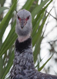 The southern screamer (Chauna torquata) Stock Photography