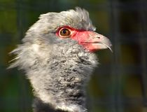 Southern Screamer Stock Photos