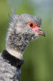 Southern Screamer closeup. Close-up of a Southern Screamer (Chauna torquata Royalty Free Stock Images