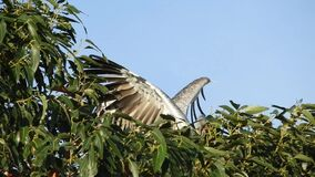 Southern Screamer flies in and lands on top of tree with mate with audio