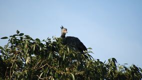 Southern Screamer raises head on top of tree