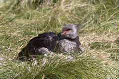 Southern Screamer that sits near the nest Stock Images