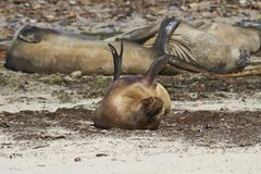 Southern Sea Lion on Carcass Island. Southern Sea Lion [Otaria flavescens] lying next to a group of Southern Elephant Seals [Mirounga leonina] on the coast of Stock Photography