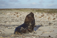 Southern Sea Lion - Falkland Islands. Large male Southern Sea Lion [Otaria flavescens] resting on a sandy beach on the coast of Sealion Island in the Falkland Stock Images