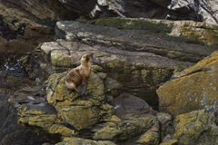 Southern Sea Lion Otaria flavescens - Falkland Islands. Southern Sea Lion Otaria flavescens on the coast of Carcass Island in the Falkland Islands Royalty Free Stock Photos