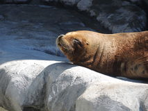 Southern sea lion. Rest in the rock Stock Images
