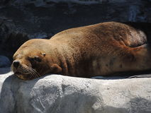 Southern sea lion. Rest in the rock Stock Image