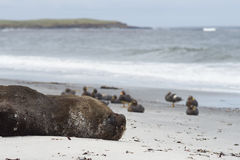 Southern Sea Lion on a sandy beach Royalty Free Stock Photos