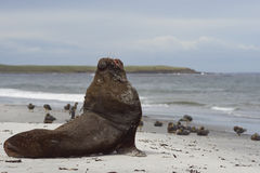 Southern Sea Lion on a sandy beach. Large male Southern Sea Lion [Otaria flavescens] resting on a sandy beach on the coast of Sealion Island in the Falkland Royalty Free Stock Image