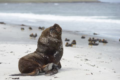 Southern Sea Lion on a sandy beach. Large male Southern Sea Lion [Otaria flavescens] resting on a sandy beach on the coast of Sealion Island in the Falkland Royalty Free Stock Images