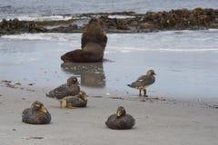 Southern Sea Lion on a sandy beach Stock Photo