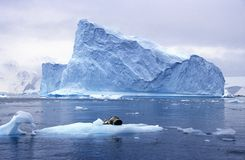 Free Southern Sea Lion Sleeping On Ice Floe With Glaciers And Icebergs In Paradise Harbor, Antarctica Royalty Free Stock Photo - 52316405