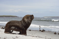 Southern Sea Lion walking on a sandy beach. Large male Southern Sea Lion [Otaria flavescens] heading into the sea on the coast of Sealion Island in the Falkland Royalty Free Stock Photo