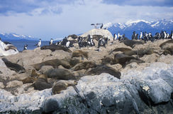 Southern sea lions and cormorants on rocks near Beagle Channel and Bridges Islands, Ushuaia, southern Argentina Stock Images