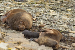 Southern Sea Lions with pup - Falkland Islands Royalty Free Stock Image