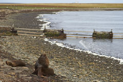 Southern Sea Lions with pup - Falkland Islands Stock Photo