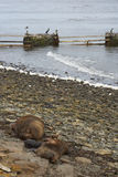 Southern Sea Lions with pup - Falkland Islands Stock Photos