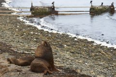 Southern Sea Lions with pup - Falkland Islands Royalty Free Stock Photo