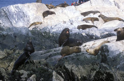 Southern sea lions on Rocks near Beagle Channel and Bridges Islands, Ushuaia, southern Argentina Royalty Free Stock Photo