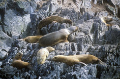 Southern sea lions on Rocks near Beagle Channel and Bridges Islands, Ushuaia, southern Argentina Royalty Free Stock Photos