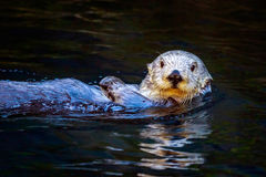 Southern Sea Otter Royalty Free Stock Photography