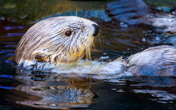 Southern Sea Otter Royalty Free Stock Images