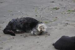 Southern sea otter (Enhydra lutris nereis) Stock Photo