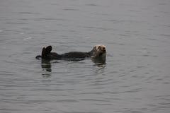 Southern sea otter (Enhydra lutris nereis) Stock Image