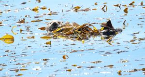 Southern sea otter Enhydra lutris nereis,. Also known as California sea otter, in Morro Bay, California, USA stock images