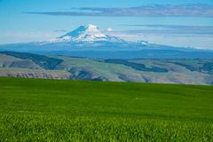 Snow-covered Mount Adams rising above Oregon wheat fields. Southern side of snow-covered Mount Adams rising above Oregon wheat fields Royalty Free Stock Photography