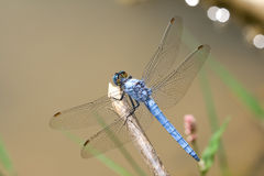 Southern Skimmer. Dragonfly in nature Royalty Free Stock Image
