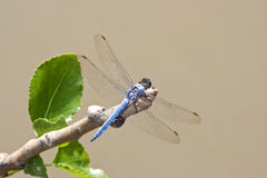 Southern Skimmer. Dragonfly in nature Stock Photo