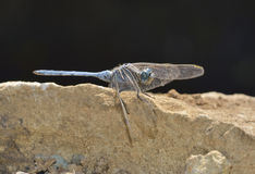 Southern Skimmer Dragonfly Royalty Free Stock Images